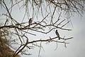 عصفور برى على شجرة برية.jpg