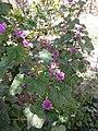 گل ختمی باغی ریز.jpg