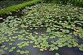 台灣萍蓬草 Yellow Water Lily (Nuphar shimadai Hayata) - panoramio.jpg