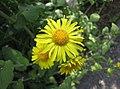 多榔菊屬 Doronicum cordatum -波蘭 Krakow Jagiellonian University Botanic Garden, Poland- (36416751670).jpg
