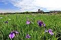 小岩菖蒲園 - panoramio.jpg