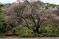 梅樹 Plum Tree - panoramio.jpg