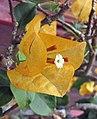 檸檬黃葉子花 Bougainvillea x buttiana 'Mrs Mclean' -深圳蓮花山公園 Shenzhen Lianhuashan Park, China- (11204952105).jpg