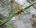 水毛花 Schoenoplectus mucronatus v robustus -高雄原生植物園 Kaohsiung Original Botanical Garden, Taiwan- (39174036400).jpg