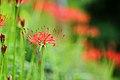 水沼駅近くの曼珠沙華, Red spider lily near the Mizunuma sta. - panoramio.jpg