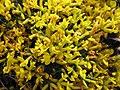 絨毛花屬 Anthyllis hermanniae -哥本哈根大學植物園 Copenhagen University Botanical Garden- (36121245674).jpg
