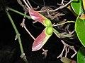 長葉槭(網脈槭) Acer reticulatum -香港城門郊野公園 Shing Mun Country Park, Hong Kong- (9204858015).jpg