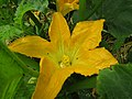 -2019-07-02 Courgette flower, Trimingham, Norfolk.JPG