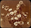 -Flower Study, Rose of Sharon- MET DT1158.jpg