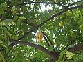 02922jfAverrhoa Tree Fruits carambolafvf 06.JPG