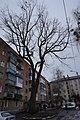 05-101-5012, Дуб-велетень, Вінниця.jpg