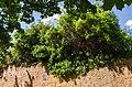 054 2015 05 10 150-jähriger Efeustock (Wiki Loves Earth 2015).jpg