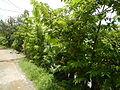 09671jfVillage Creek Atis Banana Plants San Miguel Bulacanfvf 02.JPG
