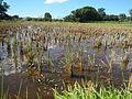 09702jfLandscapes Grasslands Plaridel Road Bonga Menor Bustos Bulacan Villagesfvf 04.JPG