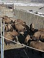 10 of 35 Bison are allowed to spread out prior to processing them 3464 (16384901578).jpg