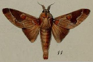 <i>Streblote</i> genus of insects