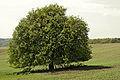 11 2012 Bystrice-pod-Hostynem pamatny-strom Regerova-hrusen-pod-Bartovcem.jpg