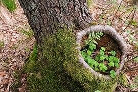15-05-09-Biosphärenreservat-Schorfheide-Chorin-Totalreservat-Plagefenn-DSCF5562-RalfR.jpg