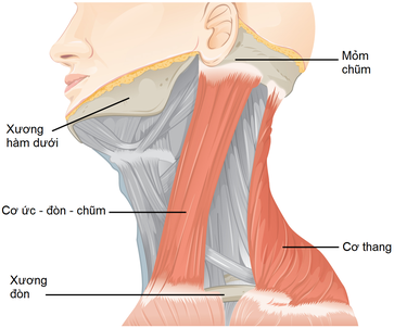Image showing the head with two muscles highlighted.