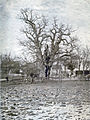 1900 Eiche Berteroda.jpg