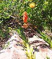 1 Aloe juddii in Sandstone rockery Kirstenbosch botanical gardens.jpg