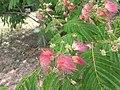 1 flores rosadas texas pink flower tree (4).jpg