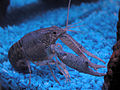 2004-02-08 Aquarium crawfish.jpg