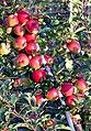 20070818070DR Tronitz+Sürßen (Dohna) Apfelplantage Borthen.jpg