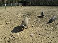 2013-04-17 10-42-45-cochons.jpg