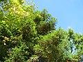 20130910Metasequoia glyptostroboides3.jpg