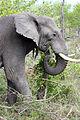 2014-11-23 068 Elefant (Elephantidae) anagoria.JPG