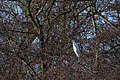 20140202 020 Kessel Weerdbeemden Grote Zilverreiger (12274436354).jpg