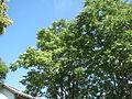 20140613Ailanthus altissima2.jpg
