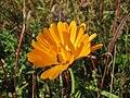 20141003Calendula officinalis1.jpg