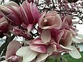 2015-04-10 07 39 53 Saucer Magnolia blossoms on Hoga Road in Sterling, Virginia.jpg
