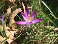 2015-04-12 11 26 54 Purple crocus blossom on Terrace Boulevard in Ewing, New Jersey.jpg