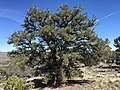 2015-04-27 13 43 43 An older Single-leaf Pinyon on the north wall of Maverick Canyon, Nevada.jpg