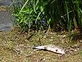 2015-05-21 Mantova, fiume Mincio 27.jpg
