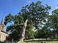 2015-09-20 12 37 50 Old White Oak in the Ewing Presbyterian Church Cemetery in Ewing, New Jersey.jpg