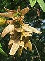 20160831Carpinus betulus1.jpg
