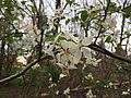 2017-04-10 18 27 47 Crabapple flowers in a woodland within the Franklin Farm section of Oak Hill, Fairfax County, Virginia.jpg