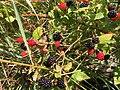 2017-07-14 13 36 26 Ripening blackberries along Stone Heather Drive in the Franklin Farm section of Oak Hill, Fairfax County, Virginia.jpg