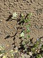 20170424Arenaria serpyllifolia5.jpg