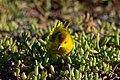 20180805-Yellow Warbler at Seymour Norte-12 (9305).jpg