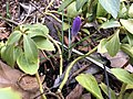 2019-02-26 17 18 22 A crocus flower bud before opening in the Franklin Farm section of Oak Hill, Fairfax County, Virginia.jpg