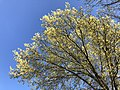 2019-04-16 17 29 49 View up into the canopy of a Pin Oak during spring leaf-out along Tranquility Court in the Franklin Farm section of Oak Hill, Fairfax County, Virginia.jpg