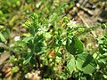 20190603Arenaria serpyllifolia1.jpg