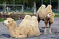 50 Jahre Knie's Kinderzoo - Camelus bactrianus (Trampeltier) 2012-10-03 15-16-52.jpg
