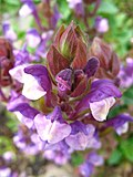 5664 - Schynige Platte - Scutellaria alpina.JPG