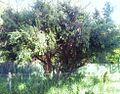 6 Gymnosporia heterophylla - Newlands Cape Town.jpg